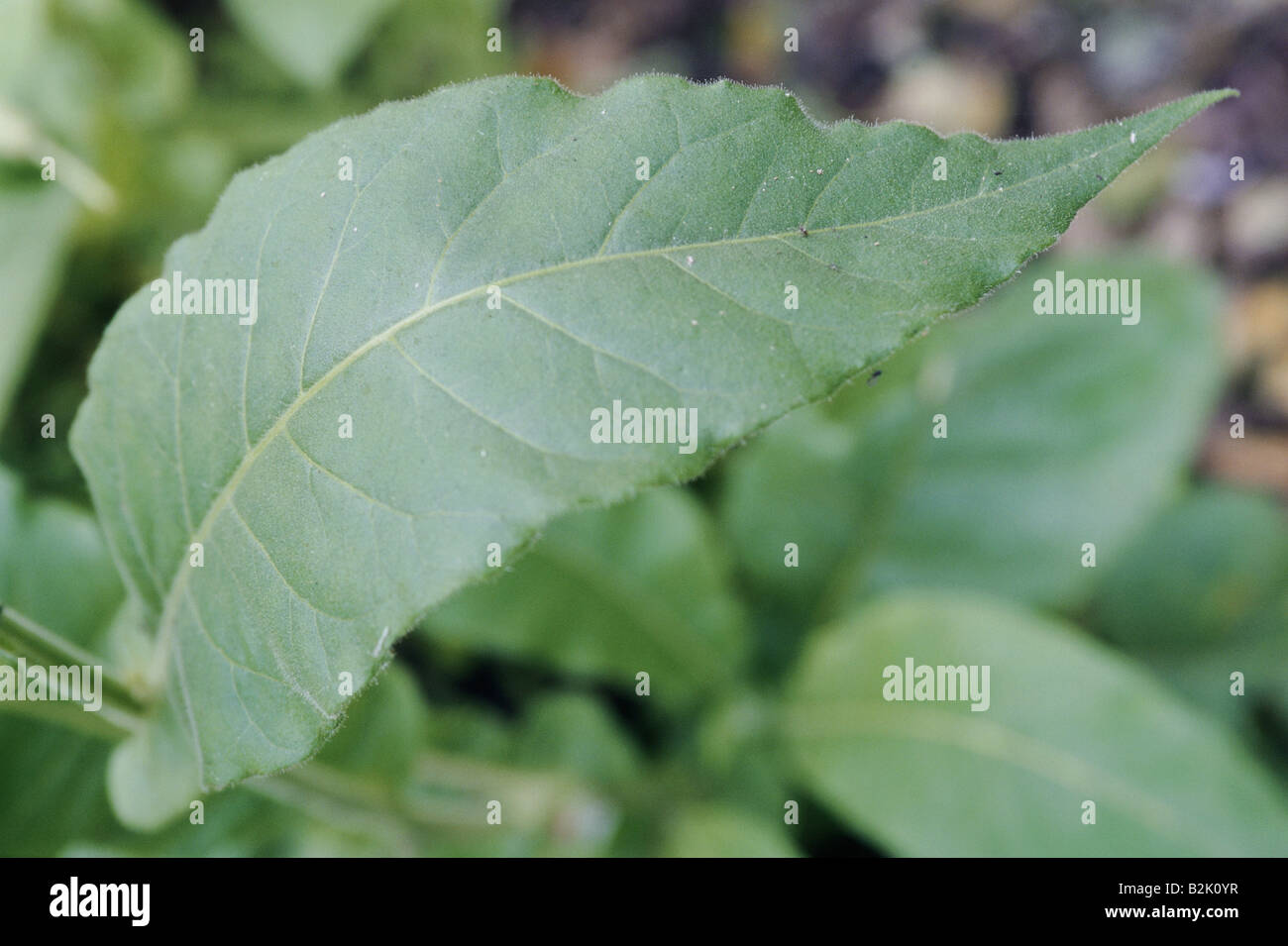 botany, Tobacco, (Nicotiana), Nicotiana tabacum, (Nicotiana tabacum), leaves, , Additional-Rights-Clearance-Info - Stock Image