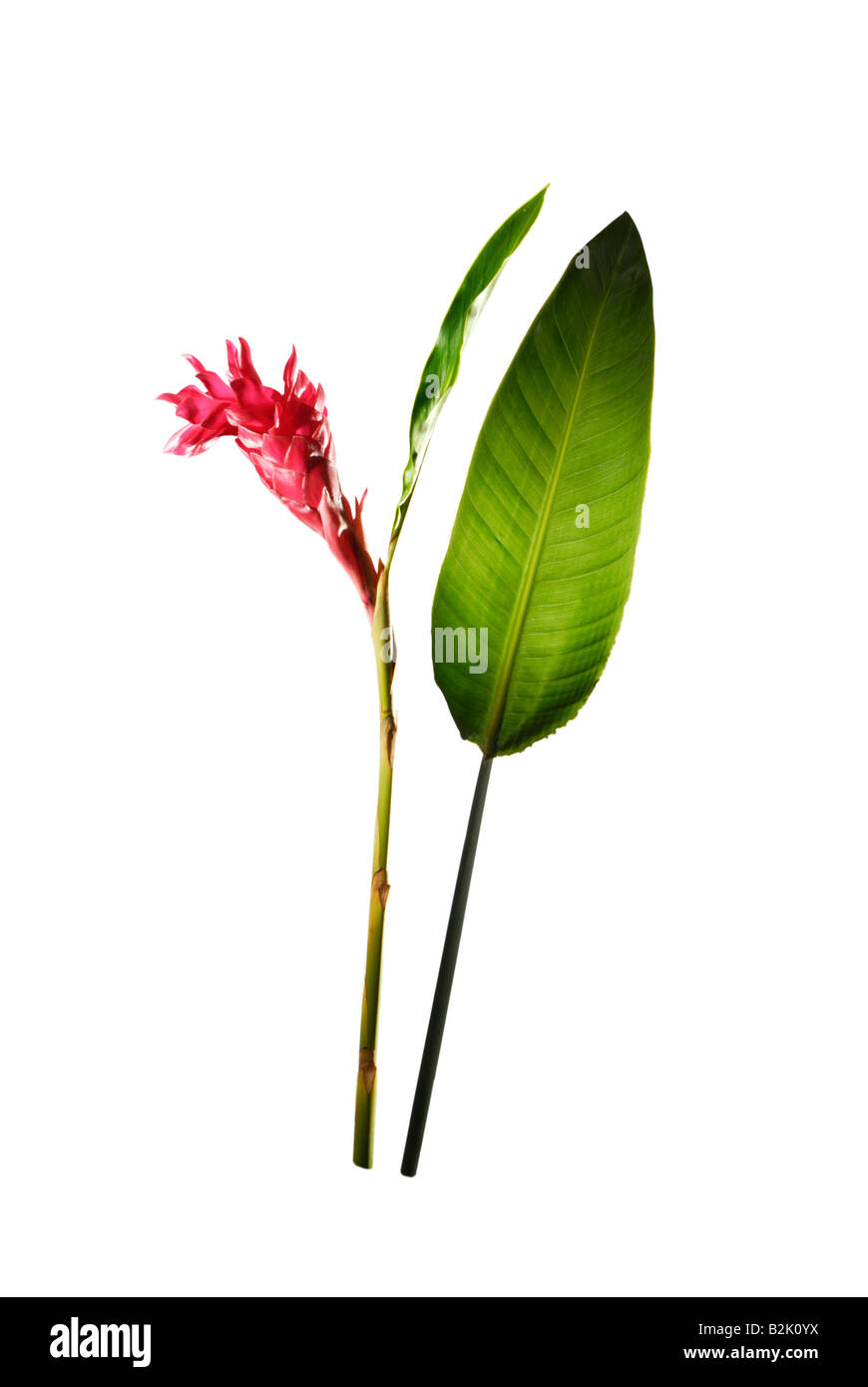 red ginger plant flower blossom of RAINFOREST forest rain leaf big giant white plain background studio shot - Stock Image