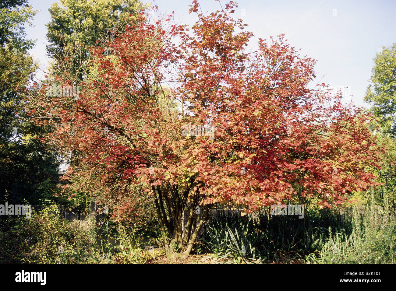 botany, Viburnum, Wayfaring Tree, (Viburnum lantana),  Asteridae, Dipsacales, Adoxaceae, caprifoliaceae, Additional - Stock Image