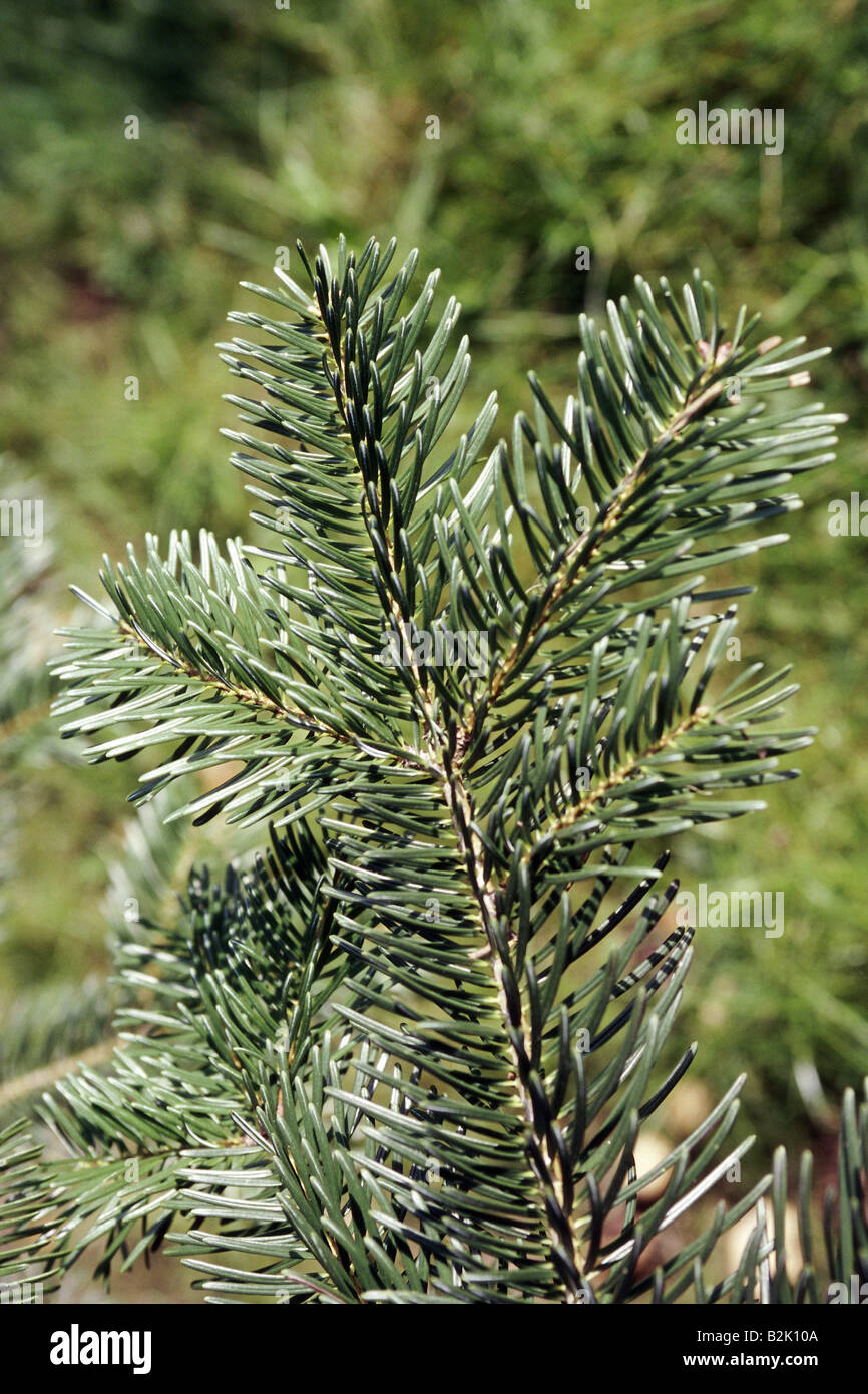 botany, fir (Abies), Abies equi-trojani (nordmanniana ssp. equi trojani), leaves at branch, Additional-Rights-Clearance - Stock Image