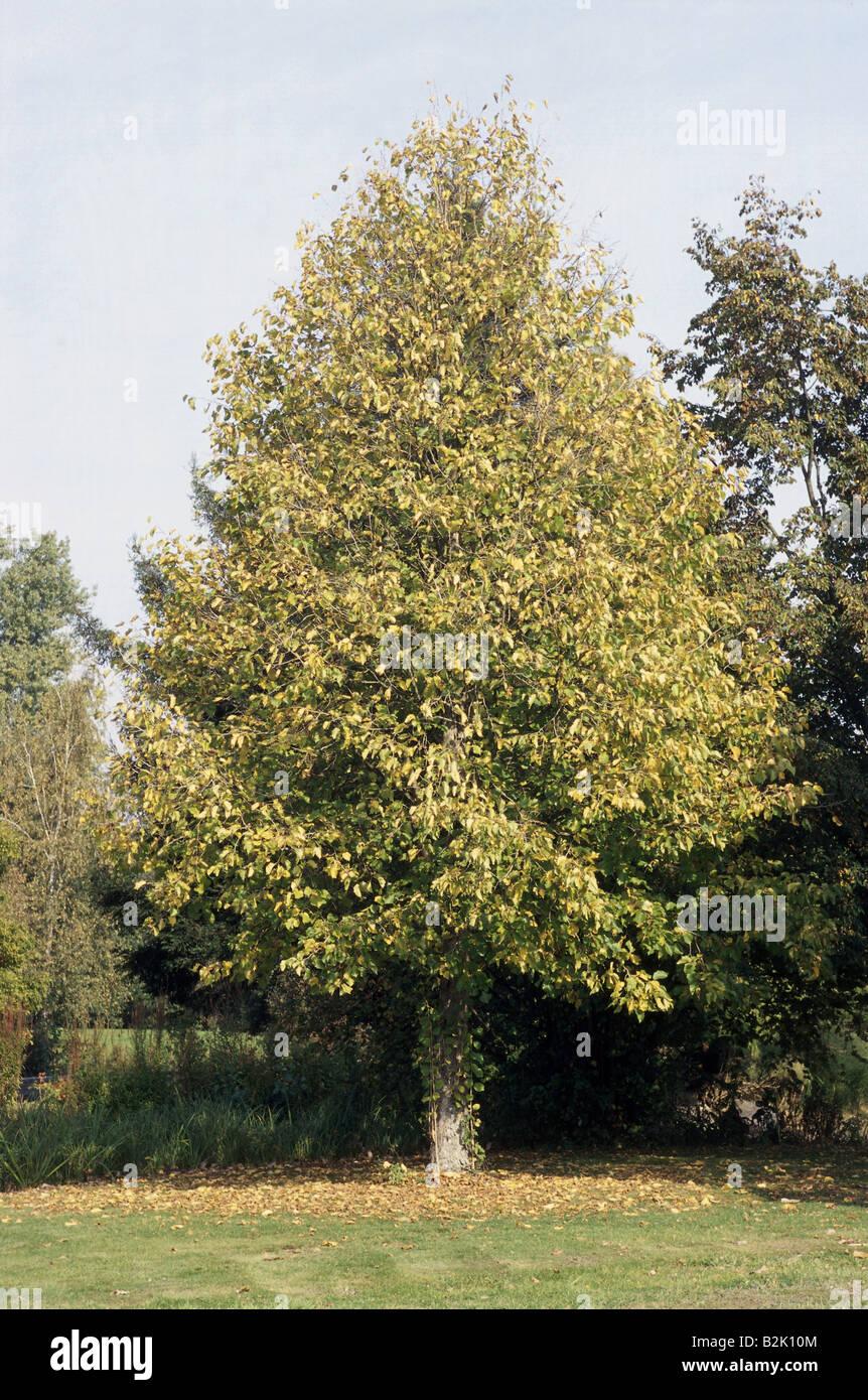 botany, hazel (Corylus), Turkish Hazel (Corylus columa), tree in meadow, Additional-Rights-Clearance-Info-Not-Available - Stock Image