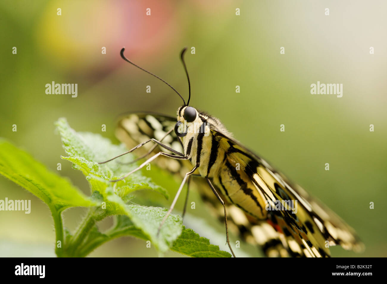 close up portrait of yellow butterfly - Stock Image