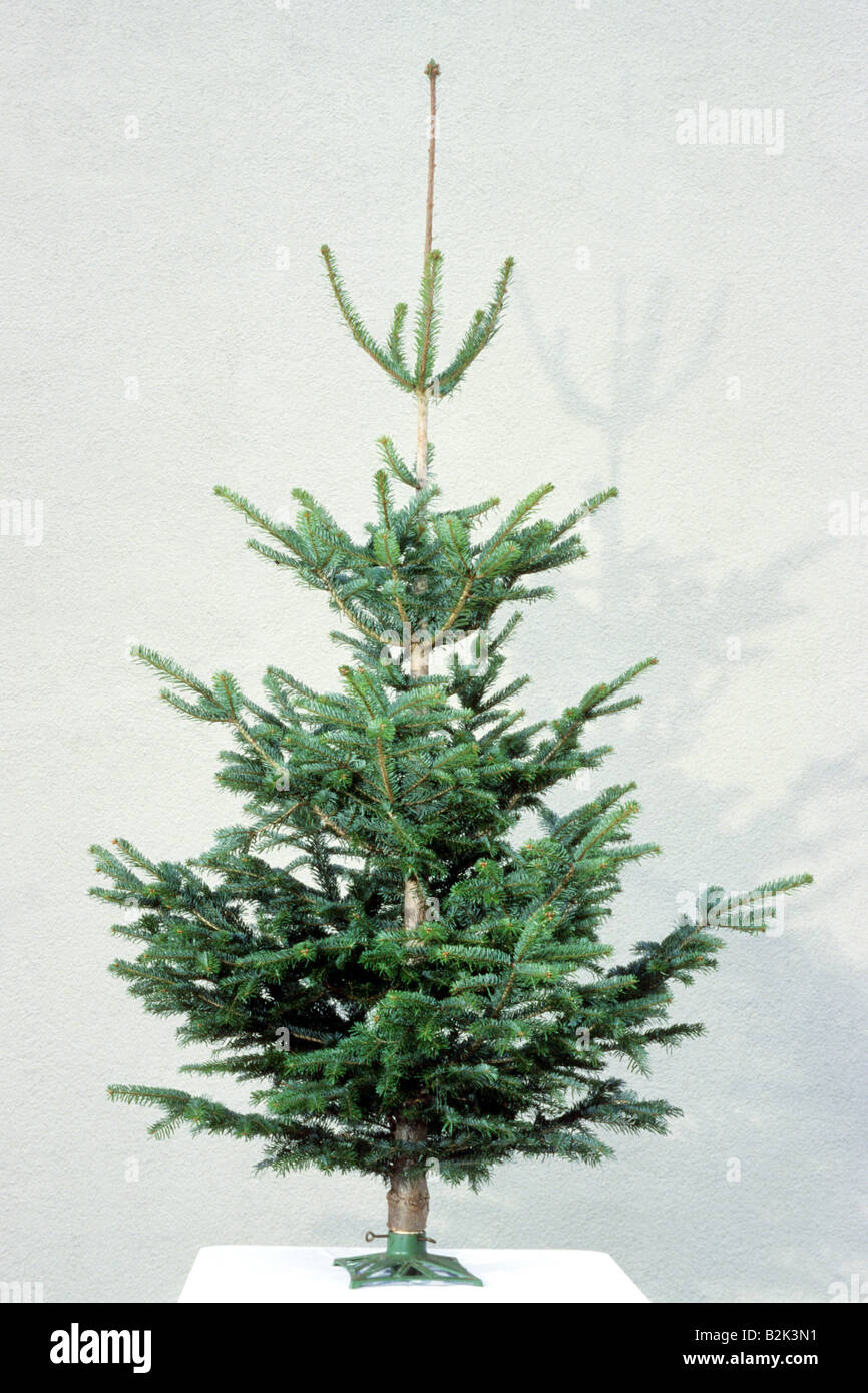 Caucasian Fir (Abies nordmanniana) as undecorated Christmas tree - Stock Image