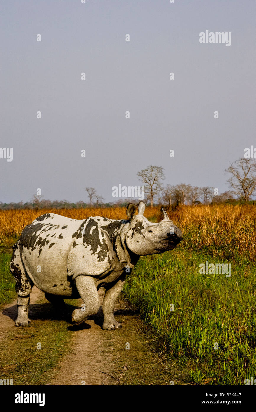 Asian one horned Rhino charging on a forest road in Kaziranga national park - Stock Image