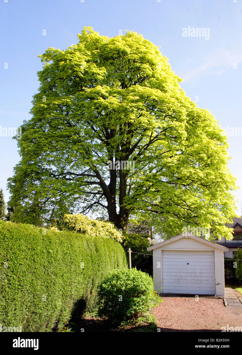 Norwegian Maple tree,yellow leafed in Spring in Central Scotland - Stock Image