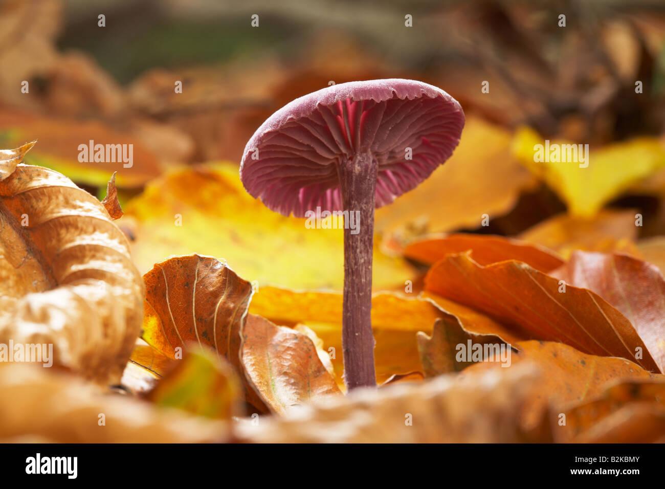 Purple Amethyst deceiver fungi - Stock Image
