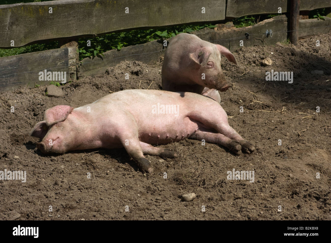 Freerange pigs sleeping in the mud A real hog s heaven. July 2008 - Stock Image