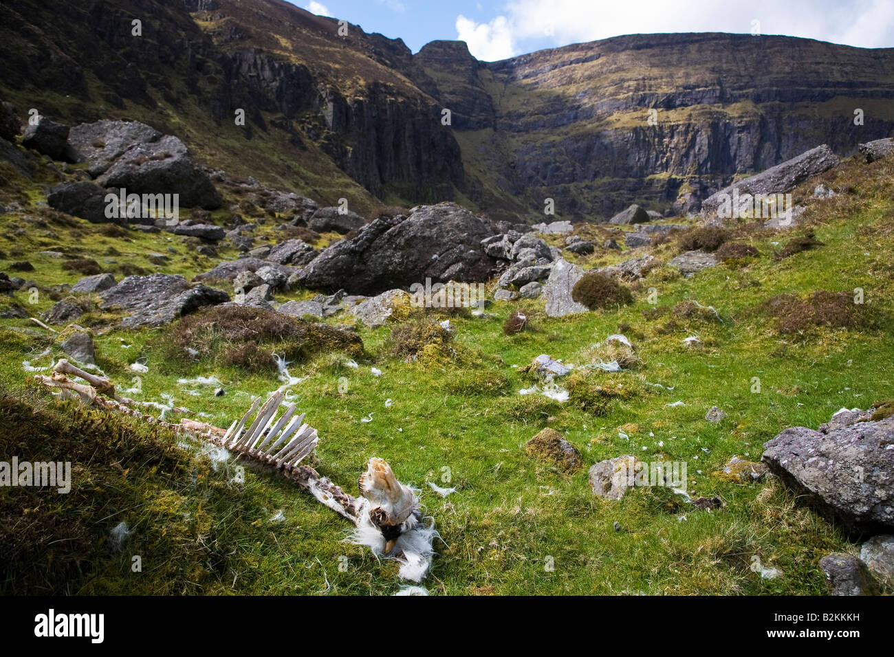 Dead Sheep in the Comeragh Mountains, Near Coumshingaun Lough, County Waterford, Ireland - Stock Image