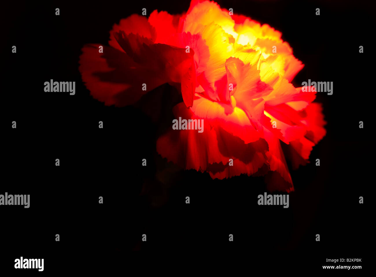 Lit Flower, Carnation, Dianthus, unusual artistic lighting - Stock Image
