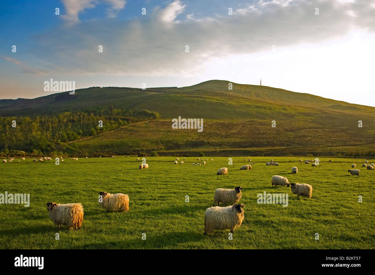 Sheep below Crohaun, Monavullagh Mountains, County Waterford, Ireland - Stock Image