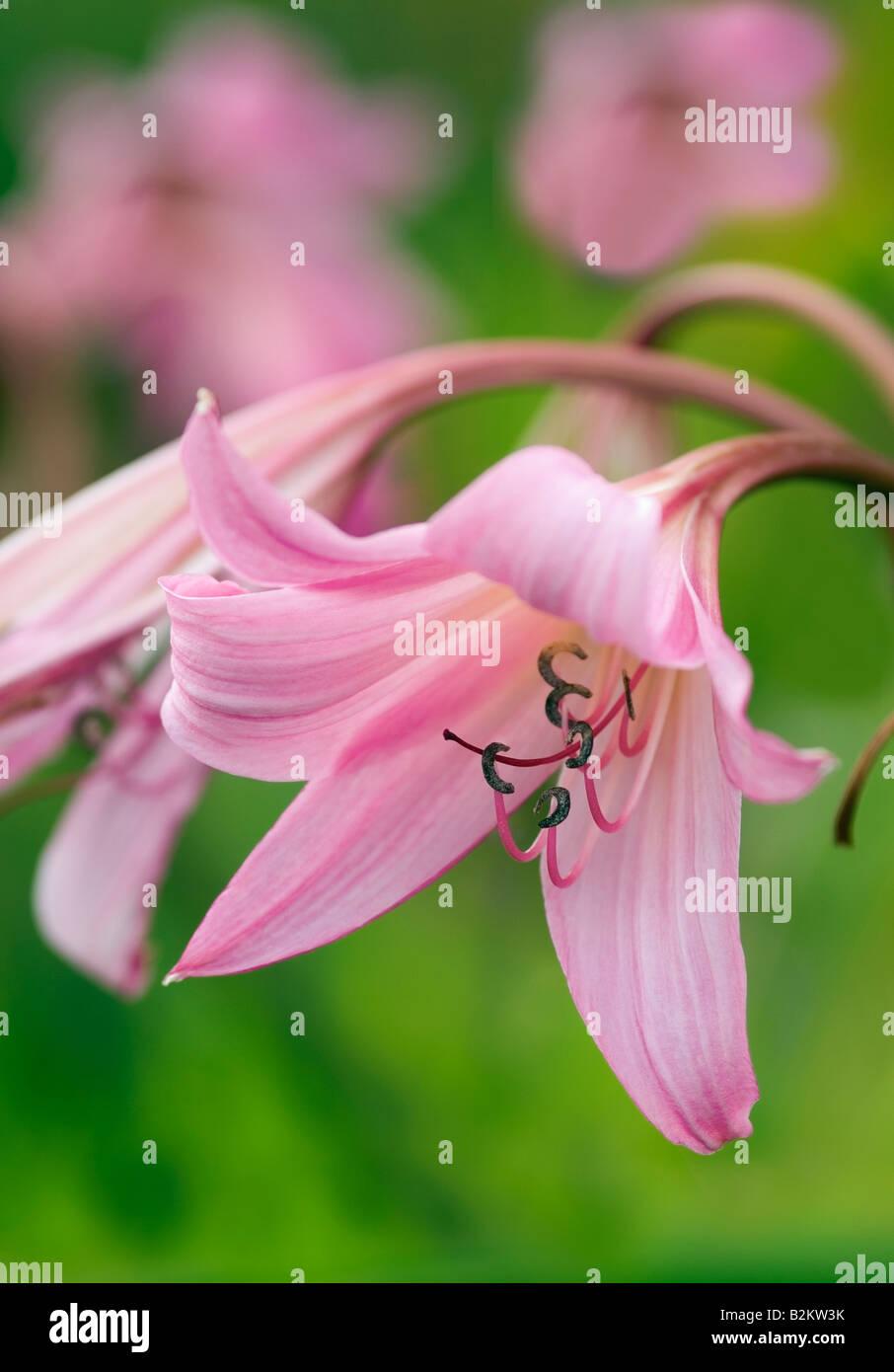 crinum powellii cape lily stock photo 18876471 alamy