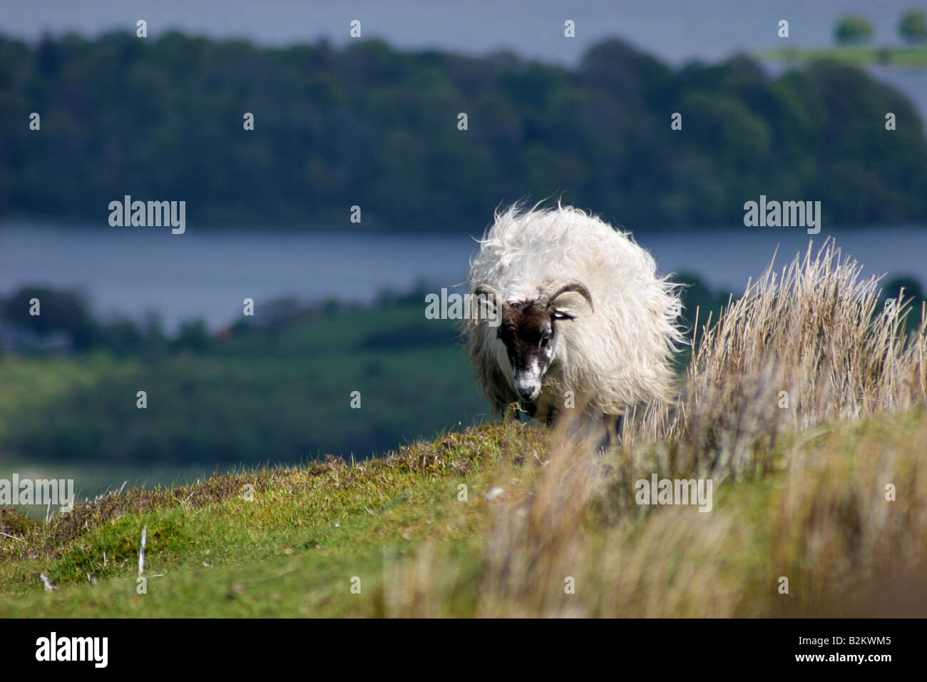 Domestic mountain sheep a very recognisable inhabitant of western and upland Ireland - Stock Image