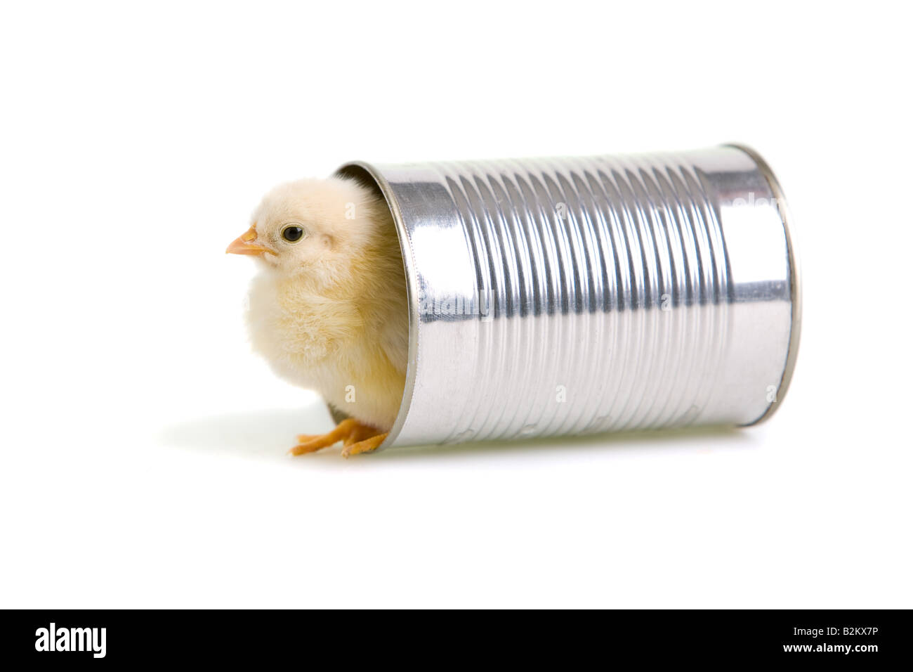 Chick comes out of a tin can - Stock Image