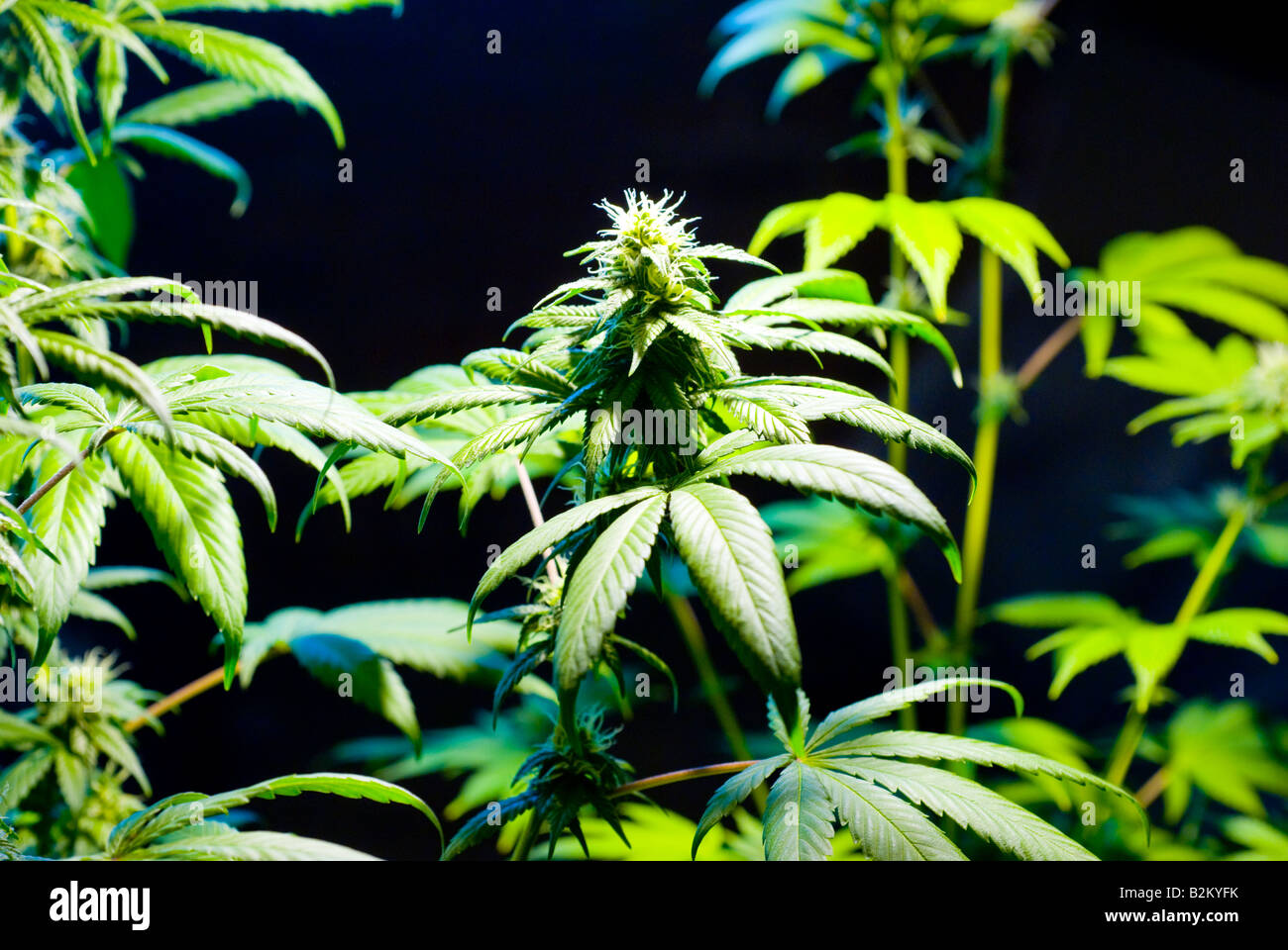 Illegal indoor Marijuana growing with budding pot plants - Stock Image