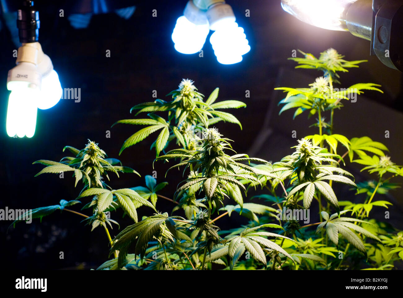 Illegal indoor Marijuana growing with budding pot plants with indoor grow lights - Stock Image