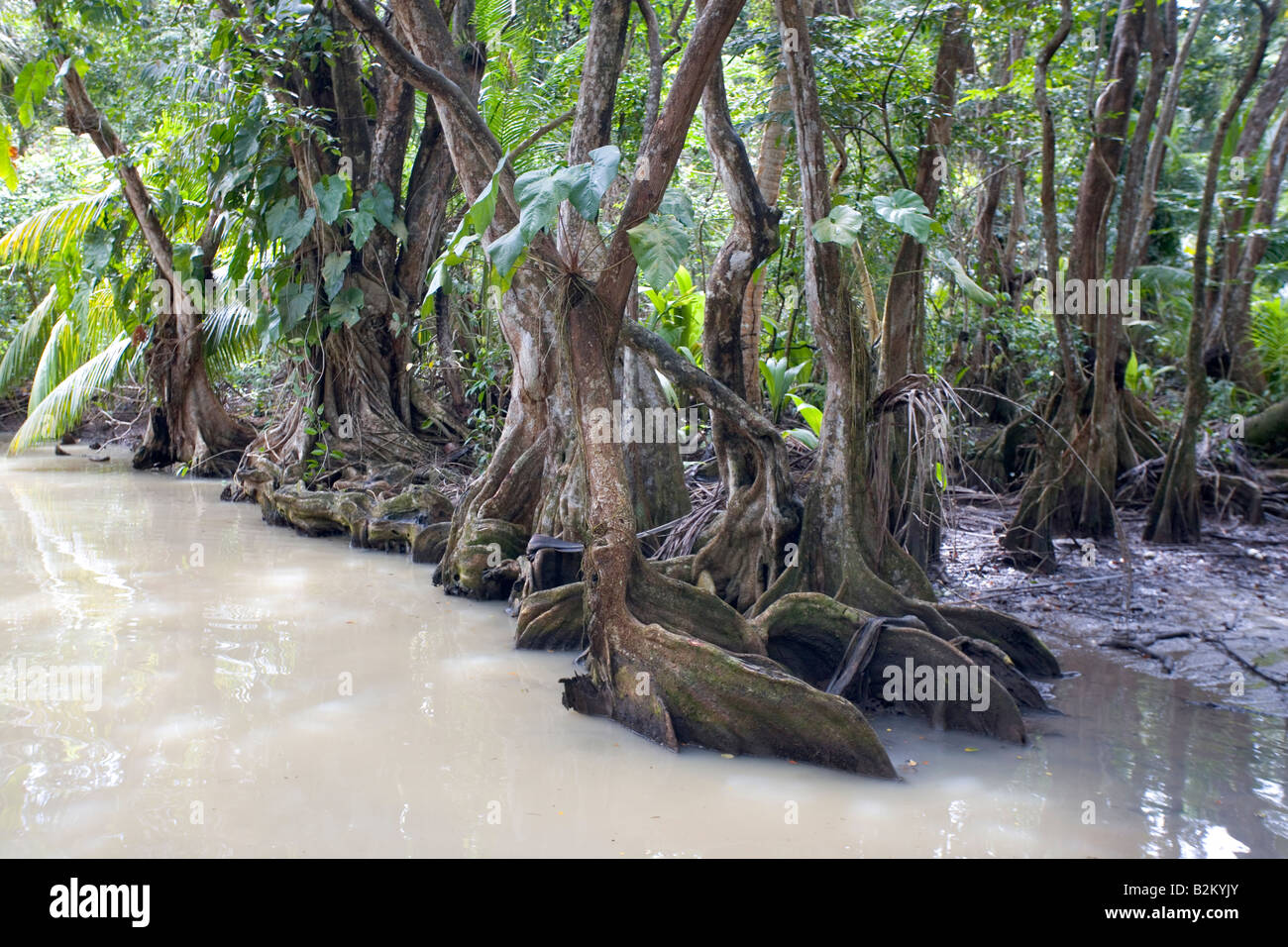 Swampblood trees along the Indian River in Dominica s northern rain forests - Stock Image