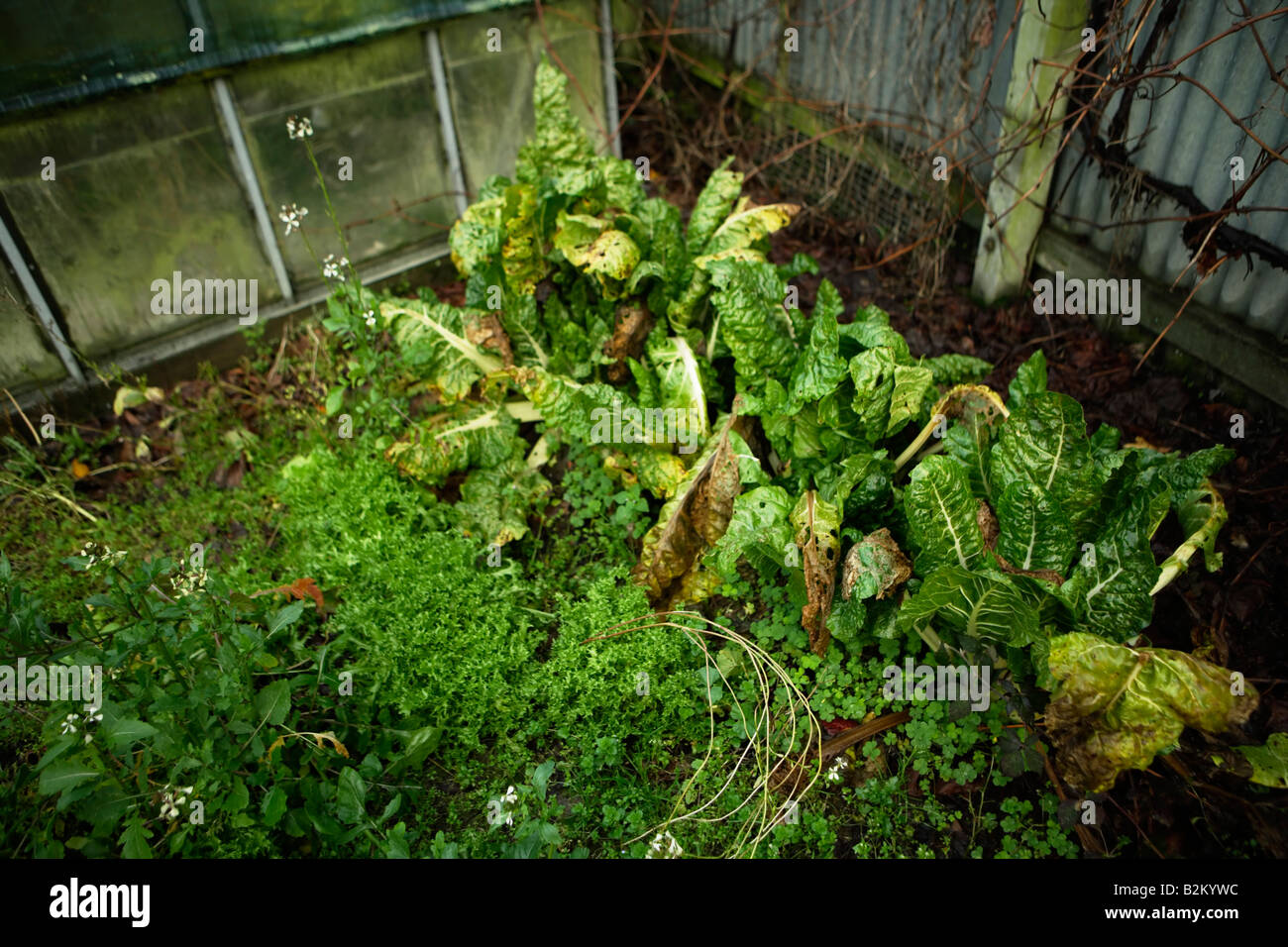 Neglected glasshouse and garden, swiss chard and lettuce - Stock Image