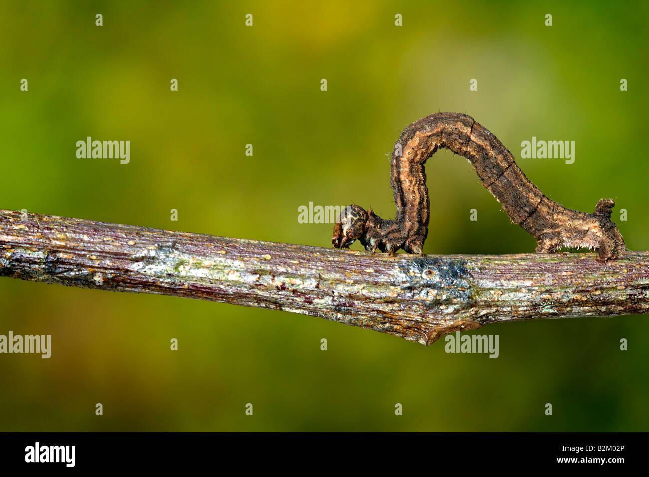 caterpillar, acherontia, larva, atropos, animal, butterfly, insect, insects, animal, bug, lepidopteran, ugly, lagarta, - Stock Image