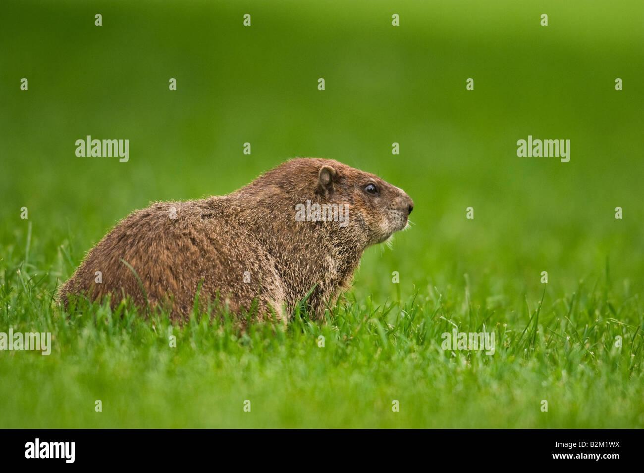 Woodchuck (Marmota monax) groundhog - Stock Image