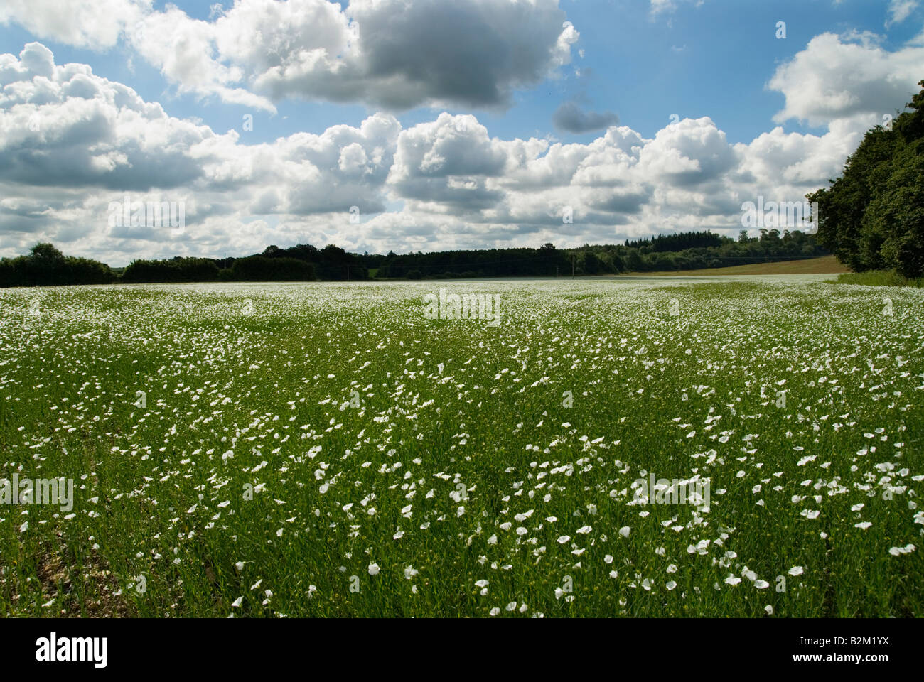 A Field Of White Flowers In Southern England With A Blue Sky And