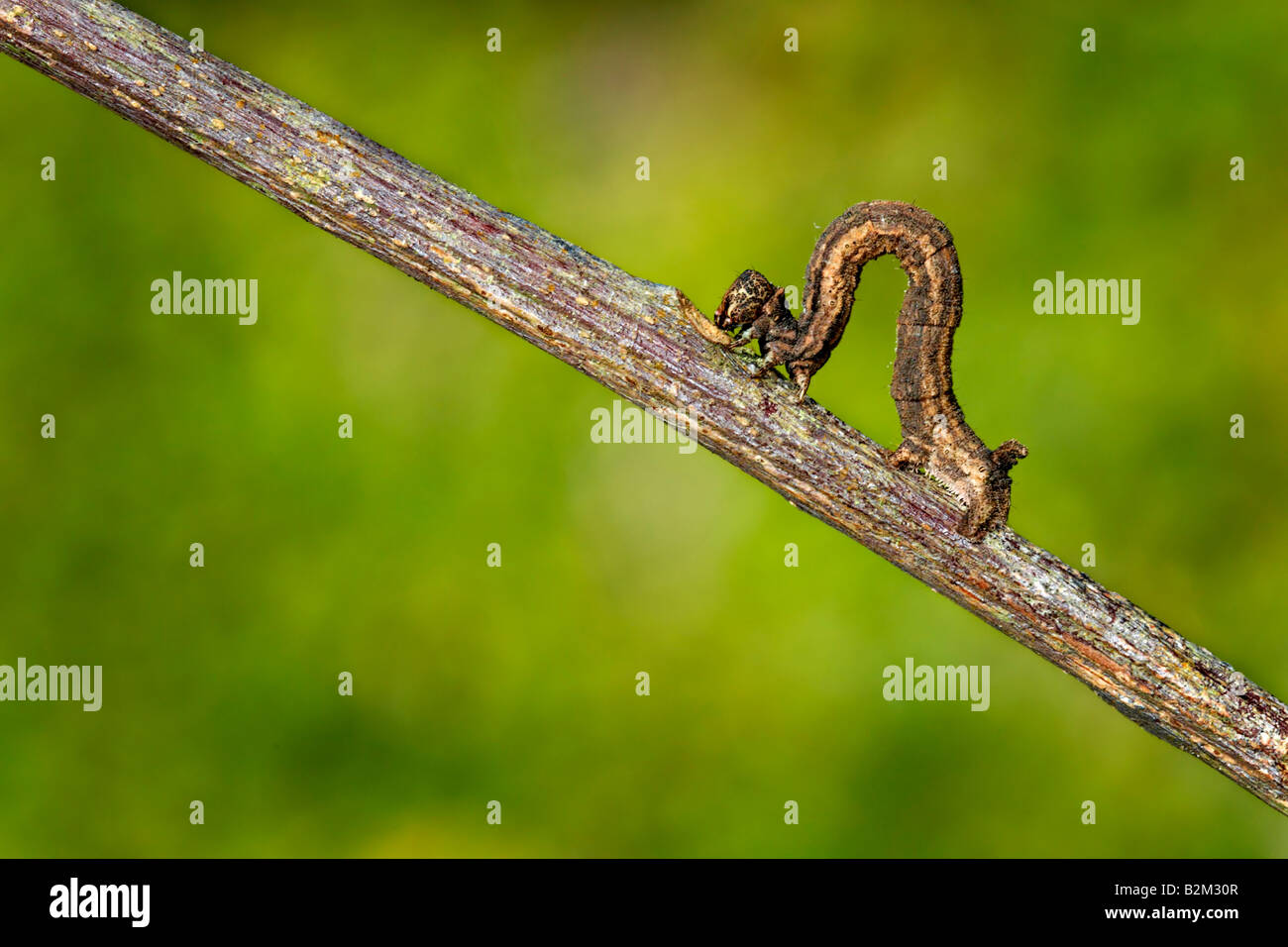 caterpillar, acherontia, larva, atropos, animal, butterfly, insect, insects, animal, bug, lepidopteran, ugly, going - Stock Image