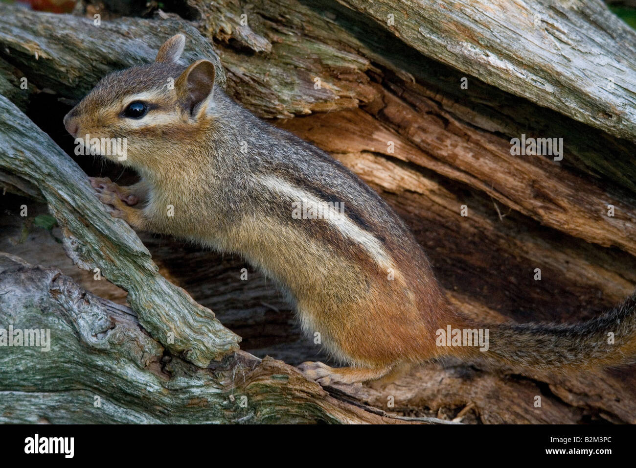 Eastern chipmunk - Stock Image