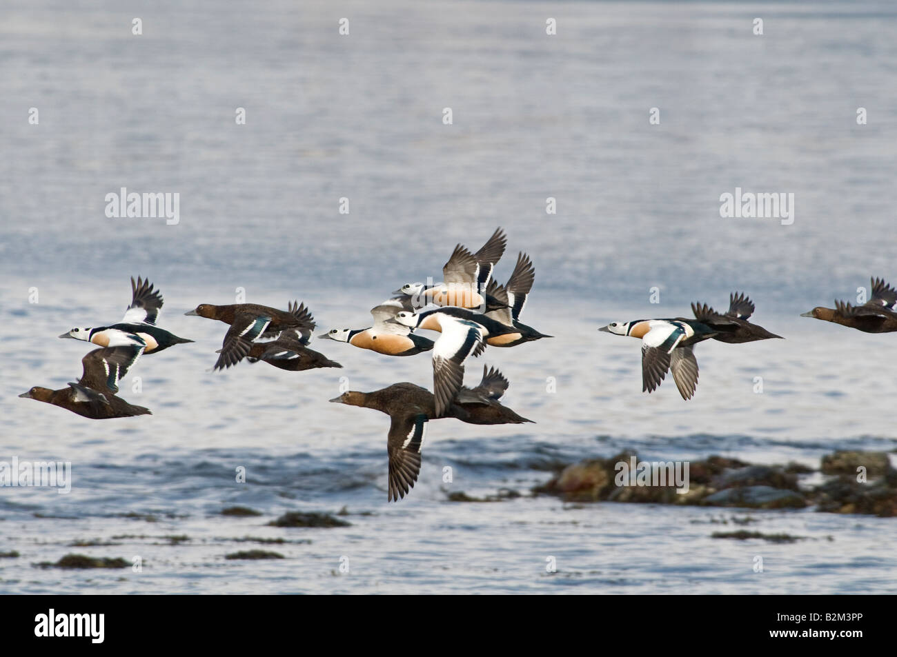 Steller s Eider Polysticta stelleri males and females in flight Stock Photo