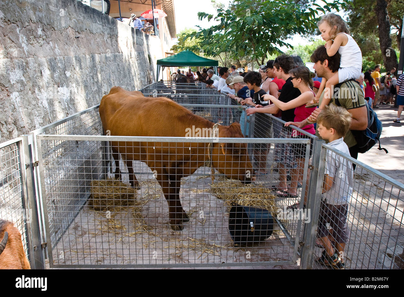 Steer for sale is seen in a cage at the farmer's market in Sineu, Majorca, Balearic Islands, Spain - Stock Image