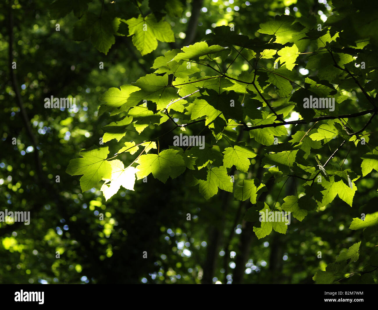 Sun shinning through the trees onto leaves - Stock Image