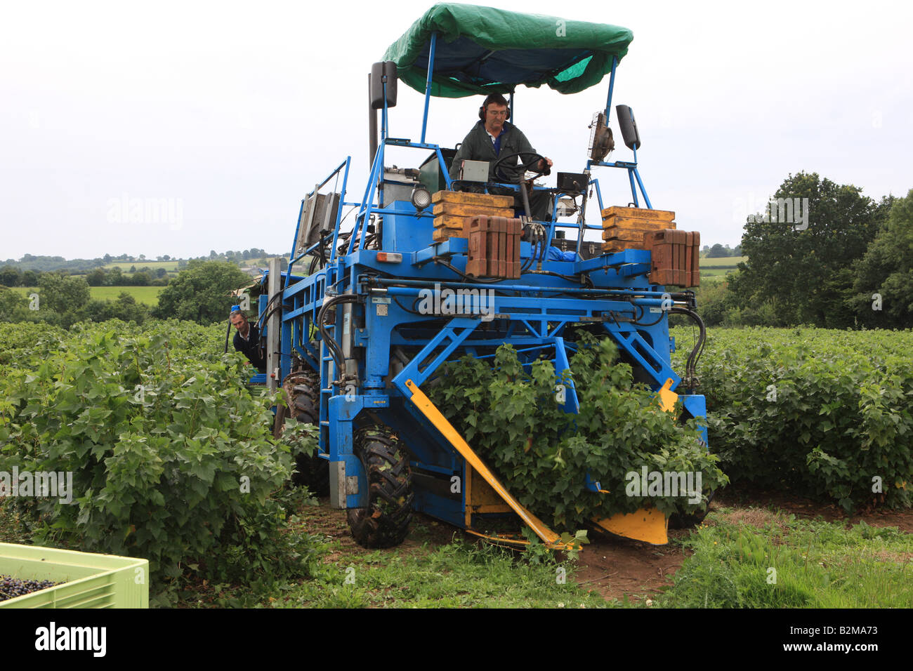 Black currants being harvested by machine at at Whitehouse Farm Crossways Monmthshire - Stock Image