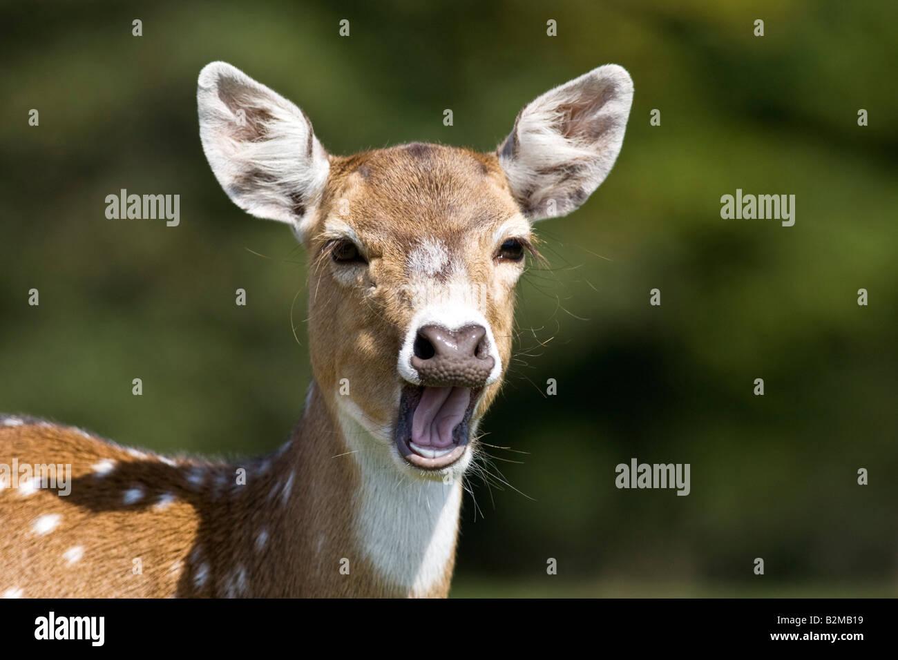 Axis Deer Yawning - Stock Image