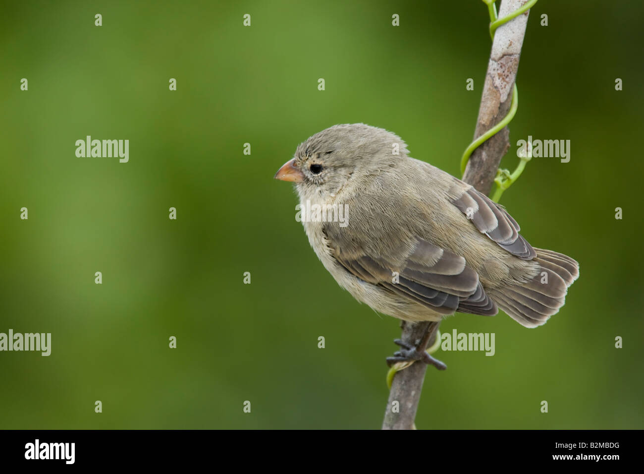 Darwin's Finches Medium Tree Finch - Stock Image