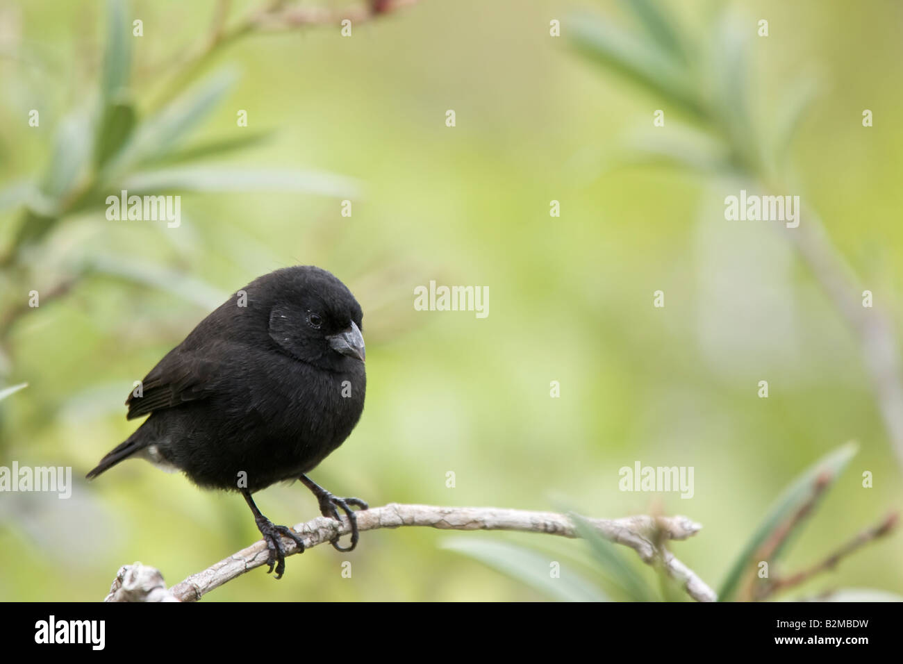 Darwin's Finches Small Ground Finch - Stock Image