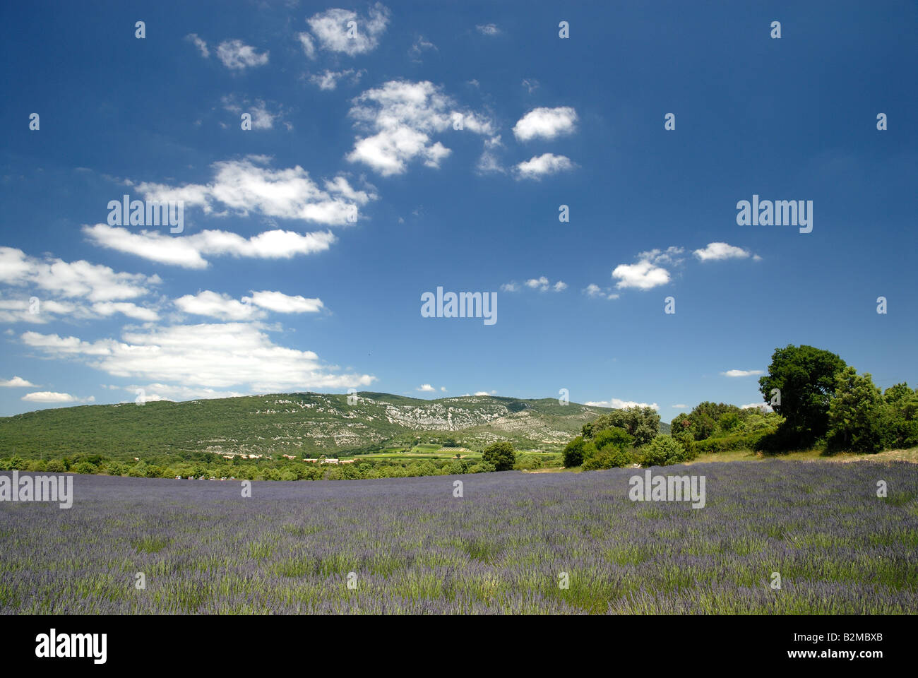 Lavender field in the Provence, France Stock Photo