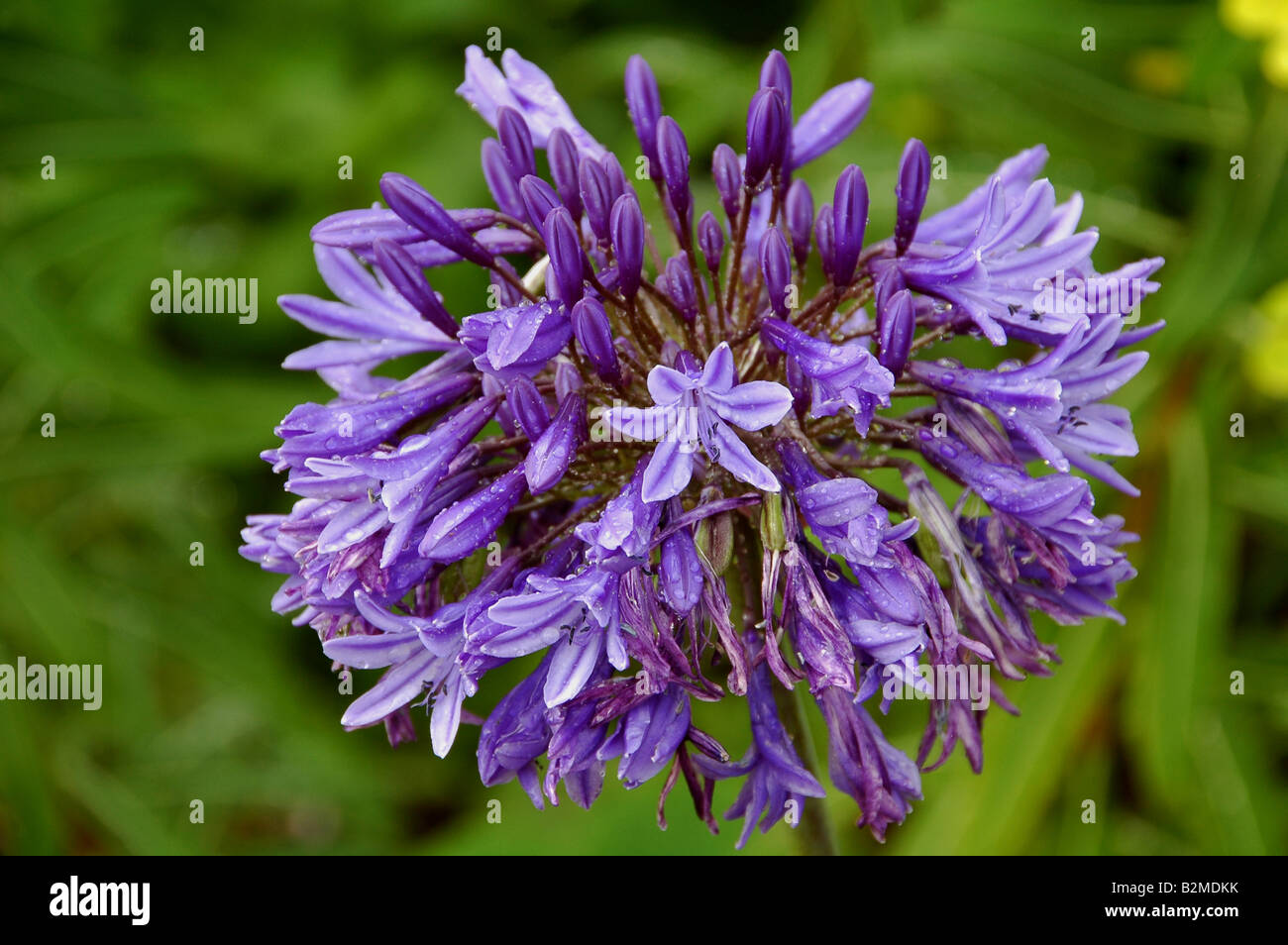 Single flower truss of Agapanthus which is quite resistant to heavy rainfall Herbaceous perennial quite hardy in - Stock Image
