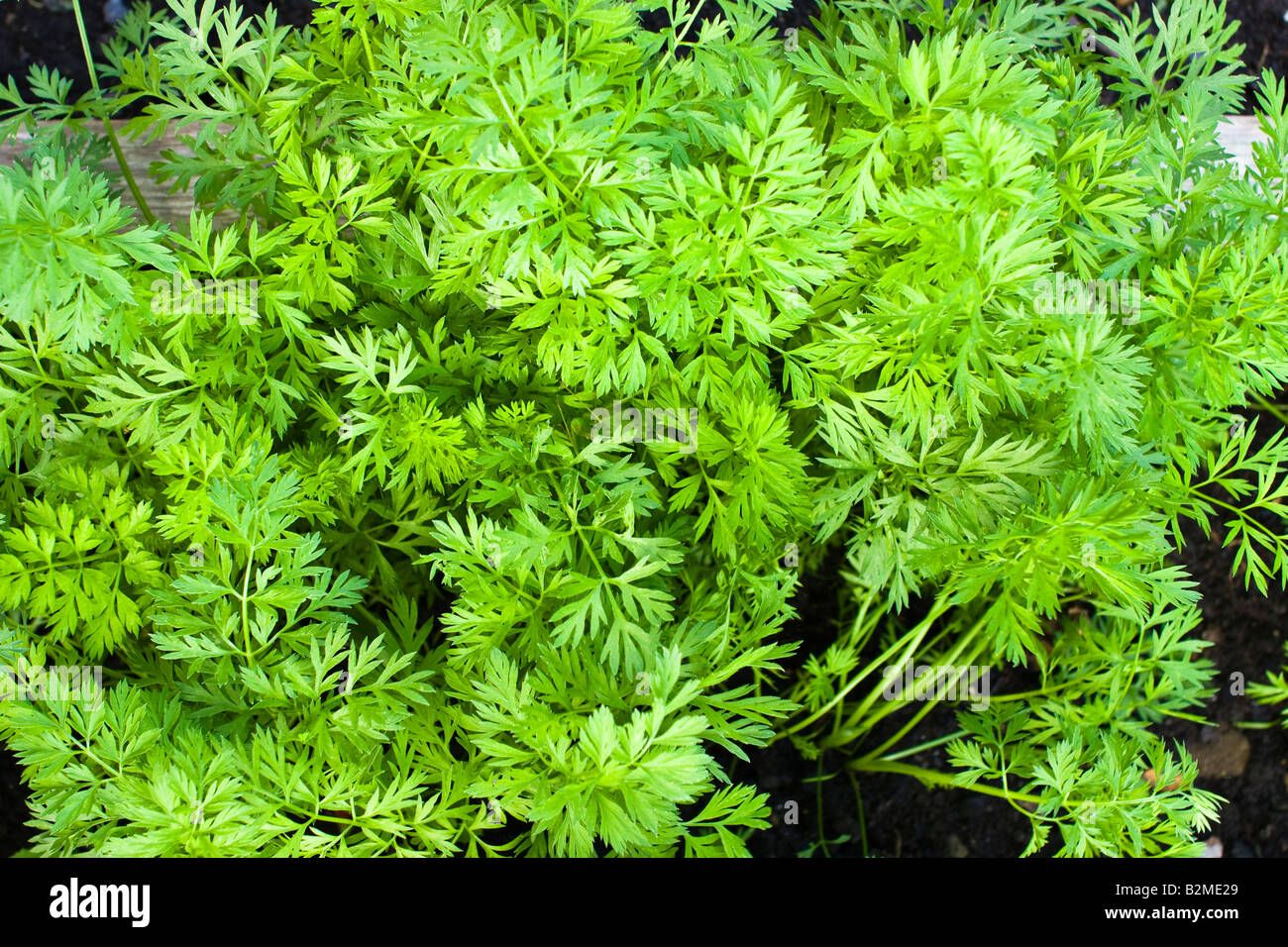 Carrots Growing in the Garden Showing the Leaves or Tops, Kent, England. - Stock Image