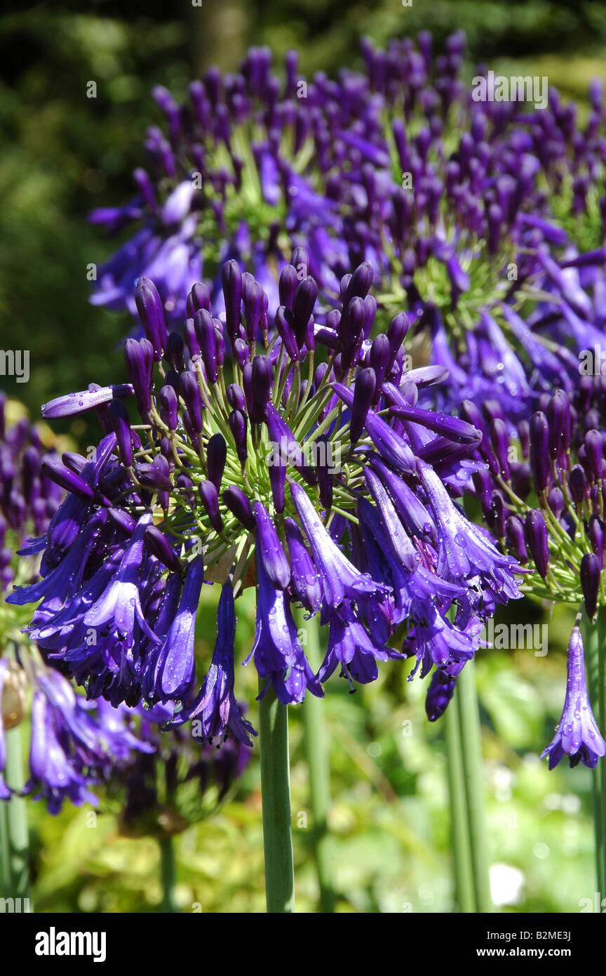 Agapanthus Quink Drops A New Variety Of African Lily With Deepest