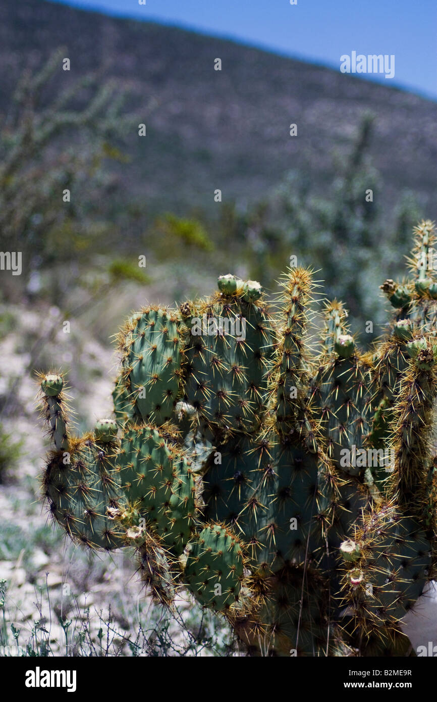 Mexico, Matehuala, Cactus Nopal of the family Opuntia, the round fruit is called Tuna, they are a delicious dish. - Stock Image