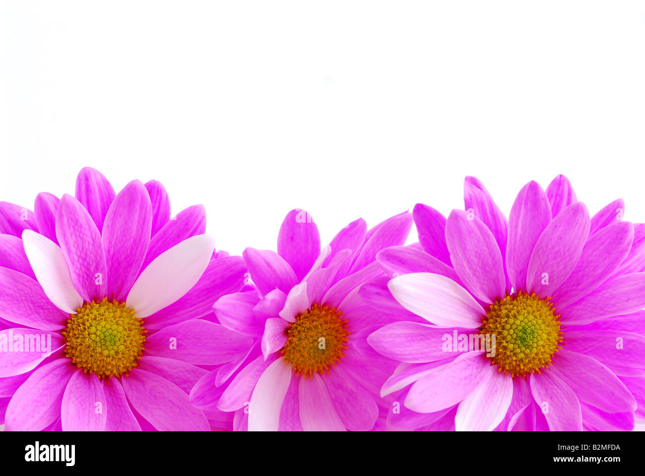 Border Of Pink Flowers Close Up On White Background Stock Photo