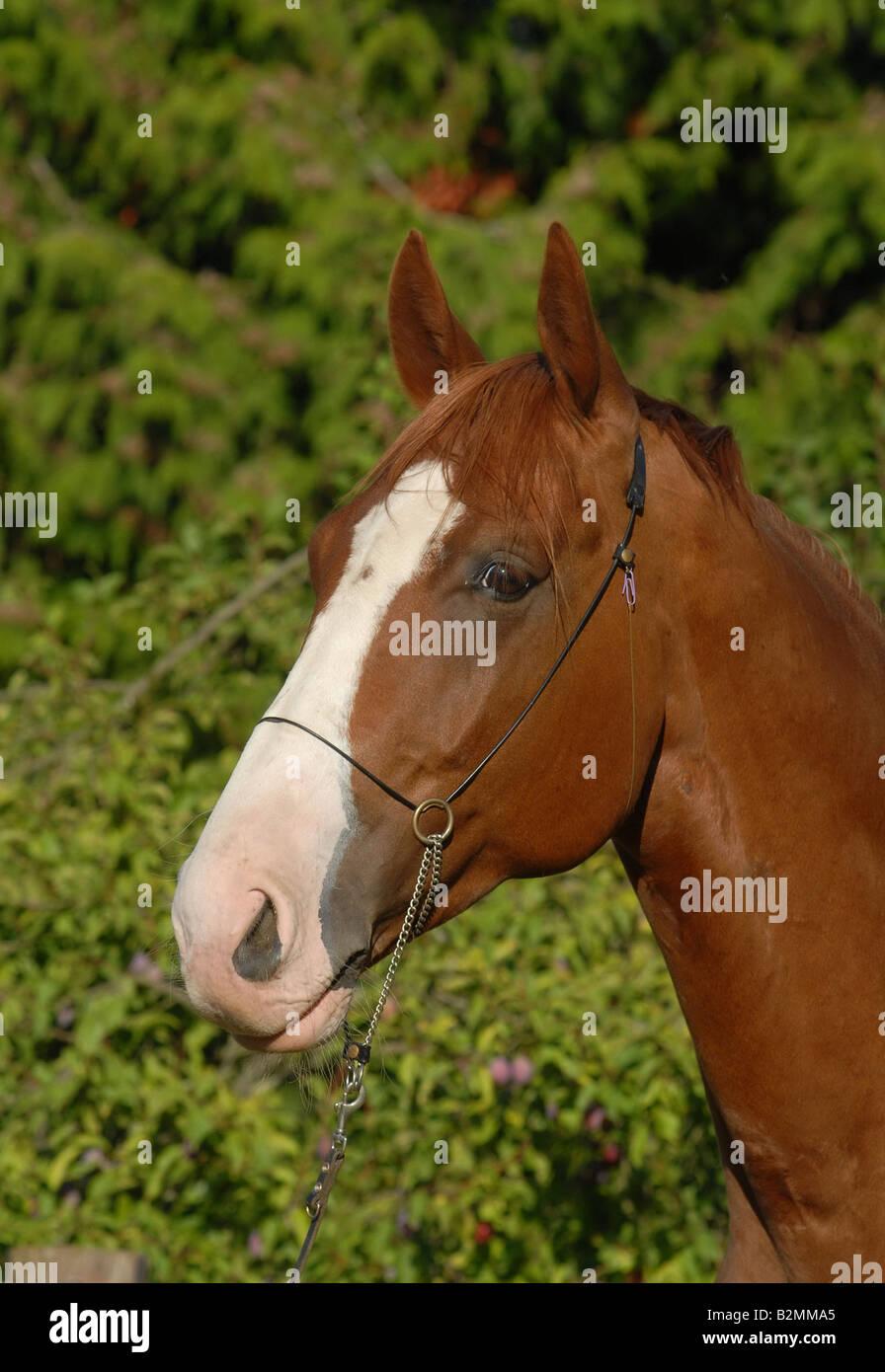 Deutsches Reitpferd German Riding Horse Stock Photo