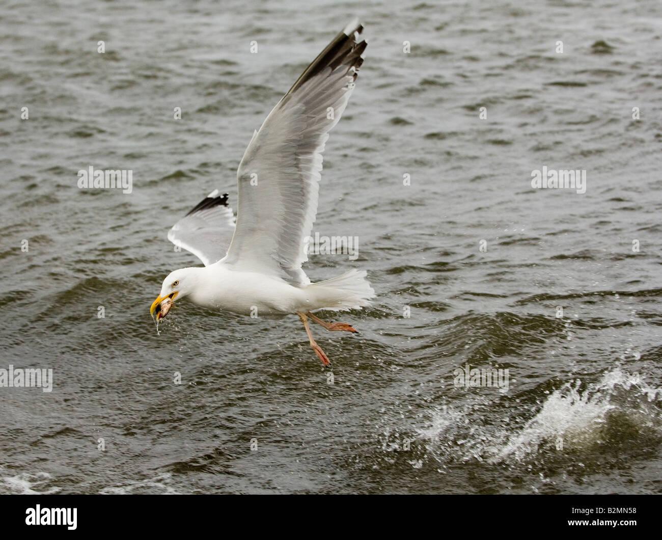 Herring Gulls Flight Larus argentatus large gull sea - Stock Image