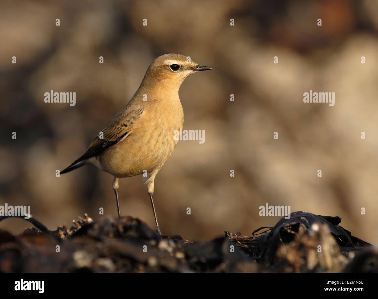 Northern Wheatear Oenanthe oenanthe passerine bird - Stock Image