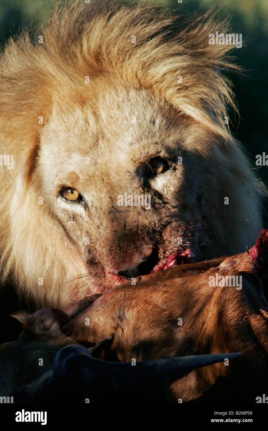Lion Panthera leo South Africa Feline Predator South Africa Big Cat - Stock Image