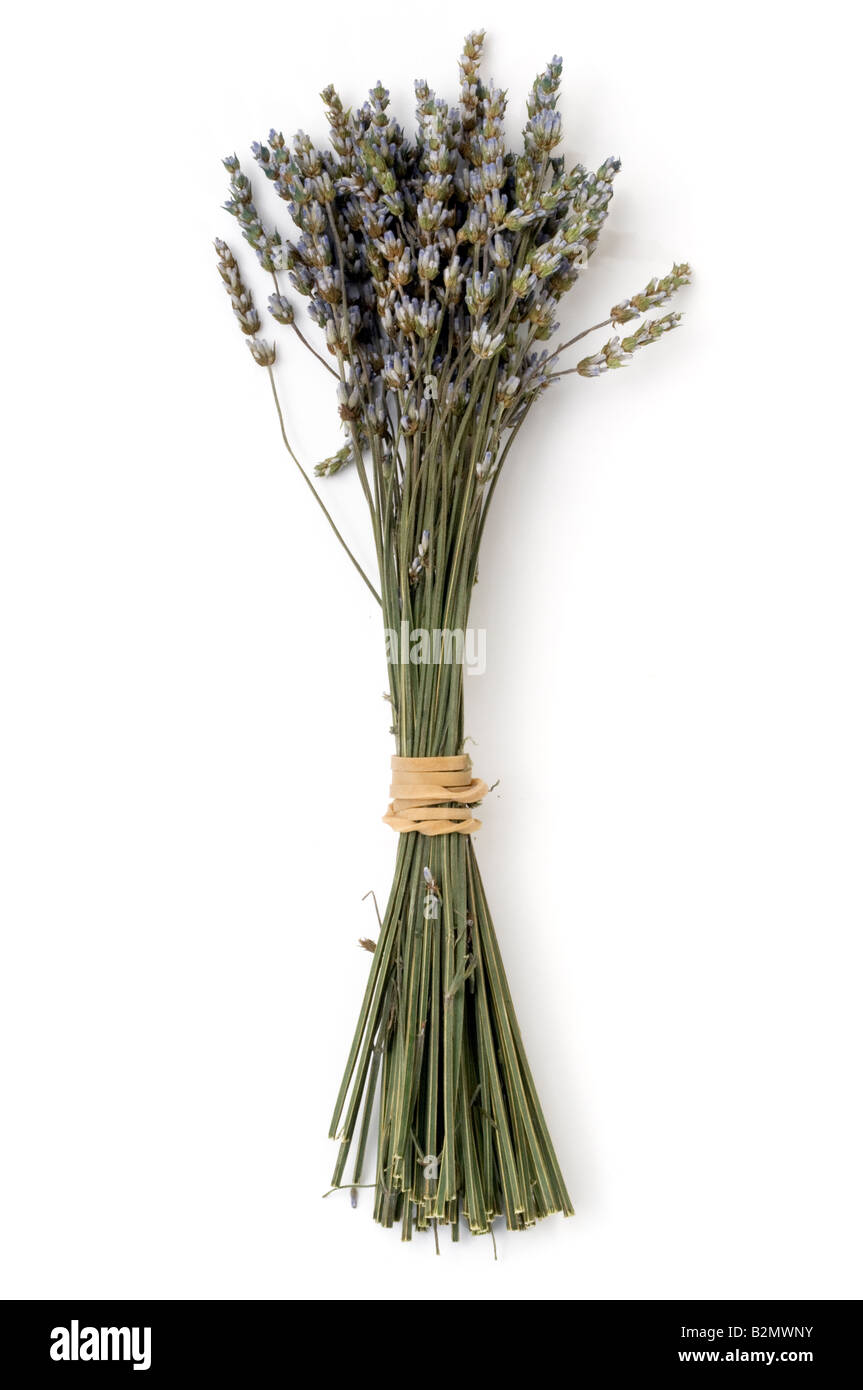 Bunch of cut Lavender  stems - Stock Image
