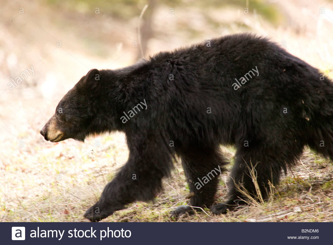 Yellowstone National Park black bear moving rapidly after crossing Tower Road through congested tourist traffic - Stock Image