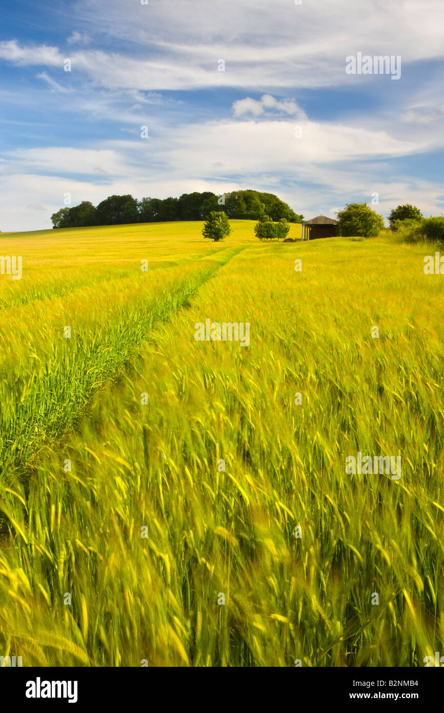 Summer Crops Growing In A Dorset Field England Stock Photo