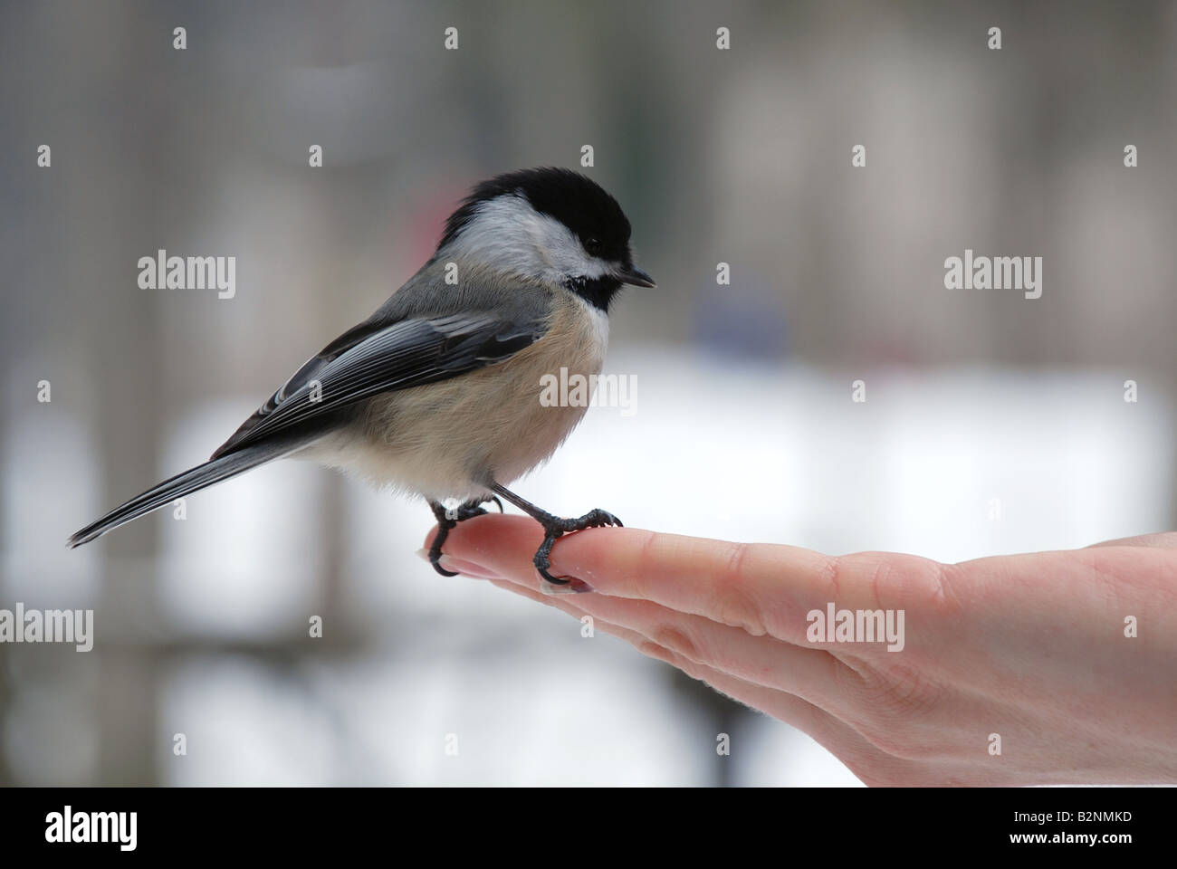 Black-capped Chickadee (Poecile atricapilla) - Stock Image
