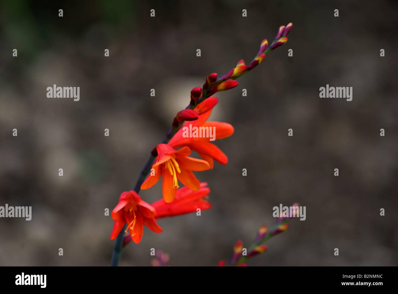 Crocosmia Iridaceae in bloom at Evologia gardens. - Stock Image