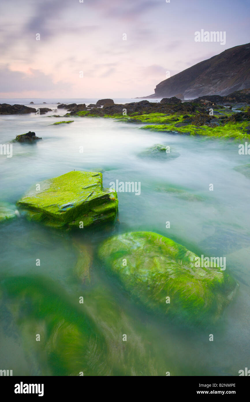 Vibrant green algae on rocks exposed at low tide at Tregardock Beach North Cornwall England - Stock Image