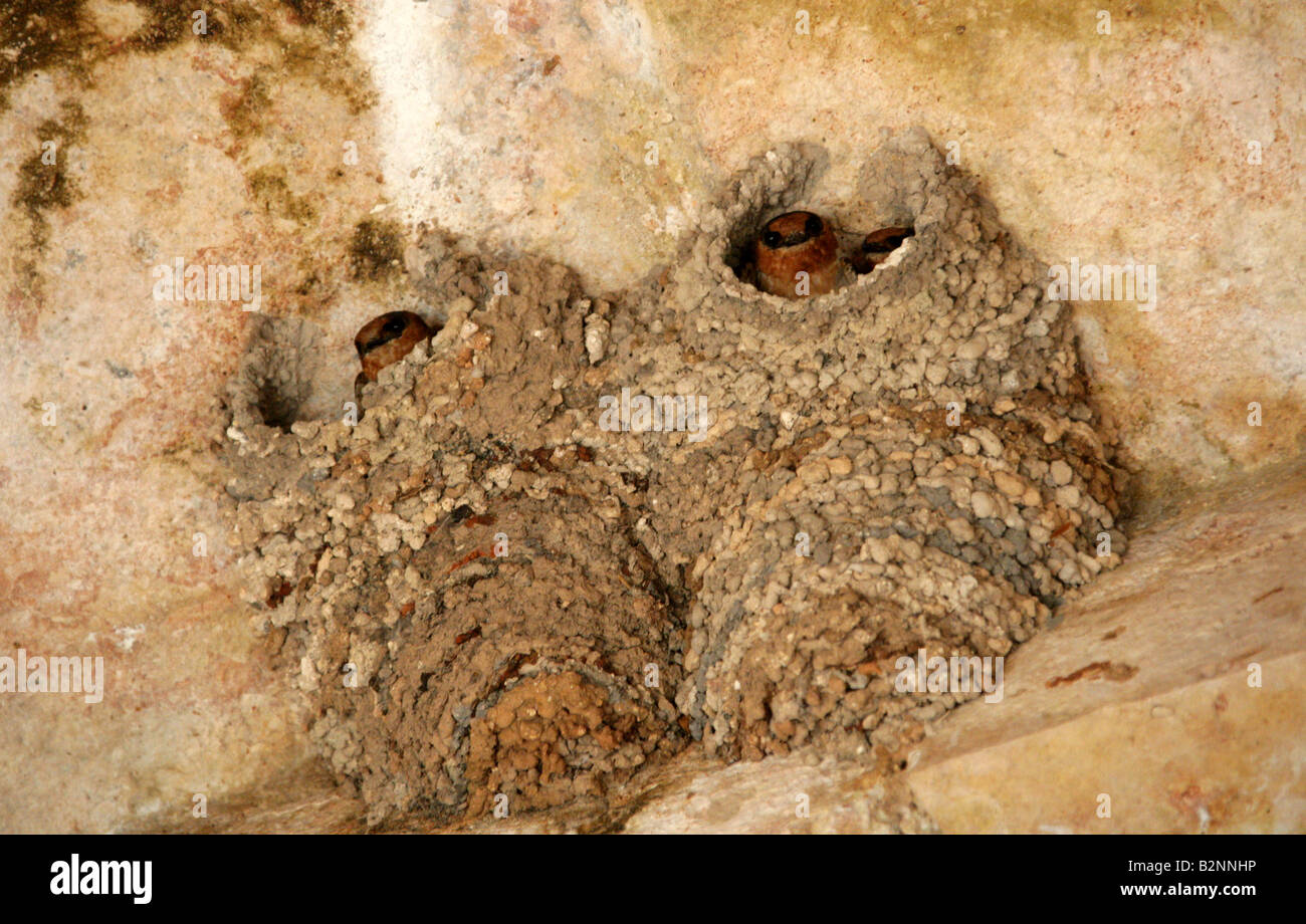 Cave Swallows Petrochelidon fulva Hirundinidae, Nesting in the Rooftop Ruins at Uxmal Archeological Site, Yucatan, - Stock Image